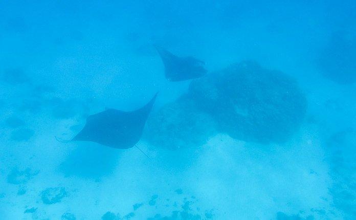 Manta rays Maupiti French Polynesia